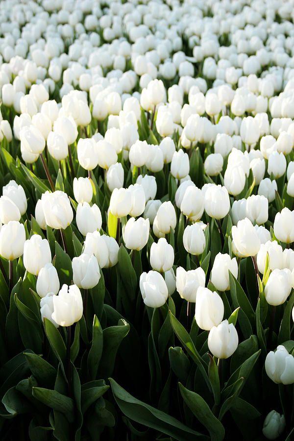 Самые лучшие картинки на телефон тюльпаны (3)