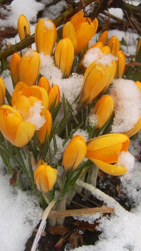 Самые лучшие картинки на телефон тюльпаны (8)