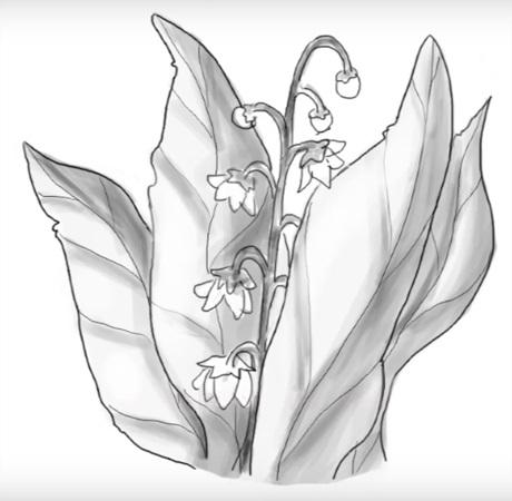 Цветы рисунок для детей карандашом (4)