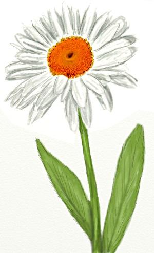 Цветы рисунок для детей карандашом (6)