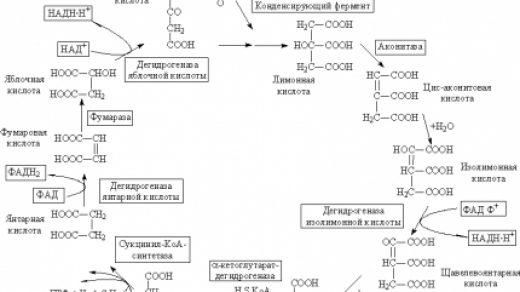 цикл лимонной кислоты