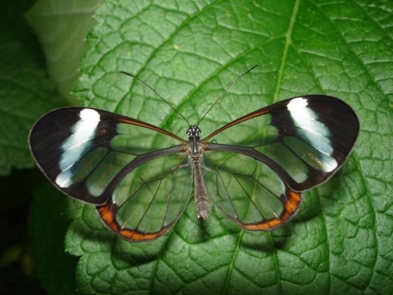 Бабочки с прозрачными крыльями фото (10)