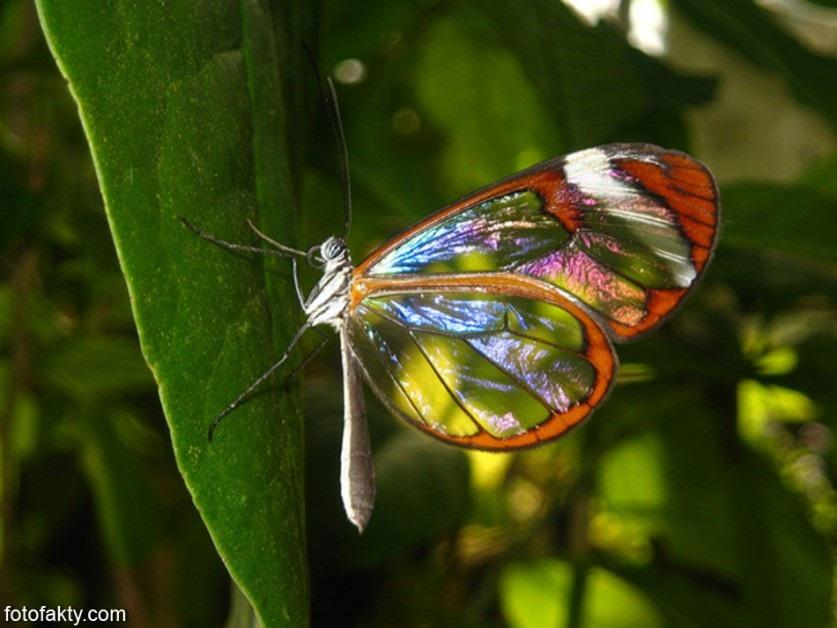 Бабочки с прозрачными крыльями фото (11)
