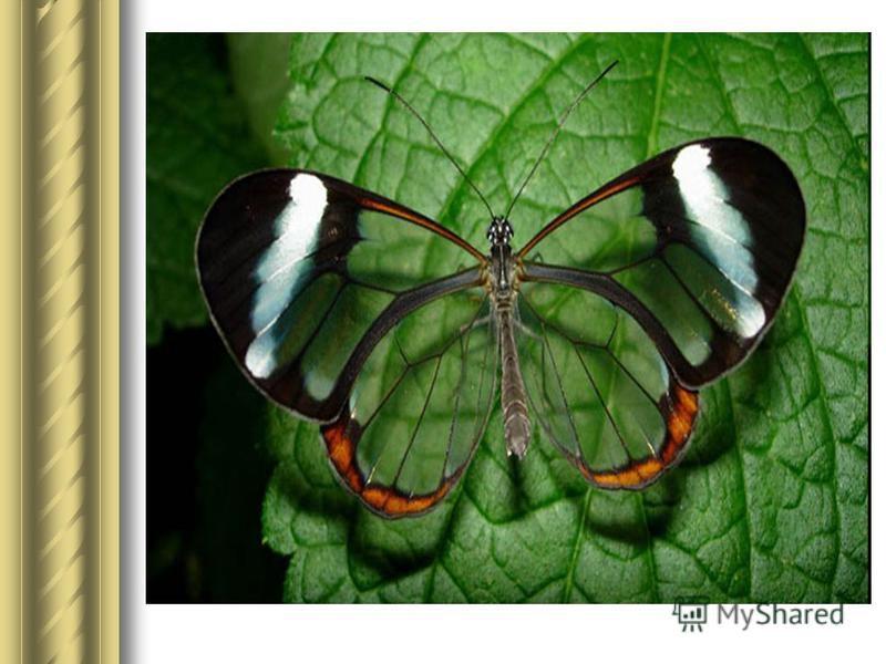 Бабочки с прозрачными крыльями фото (12)