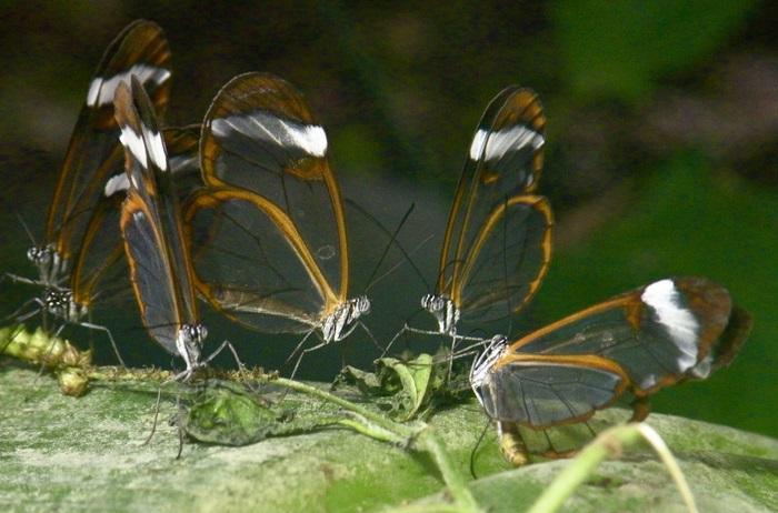Бабочки с прозрачными крыльями фото (13)