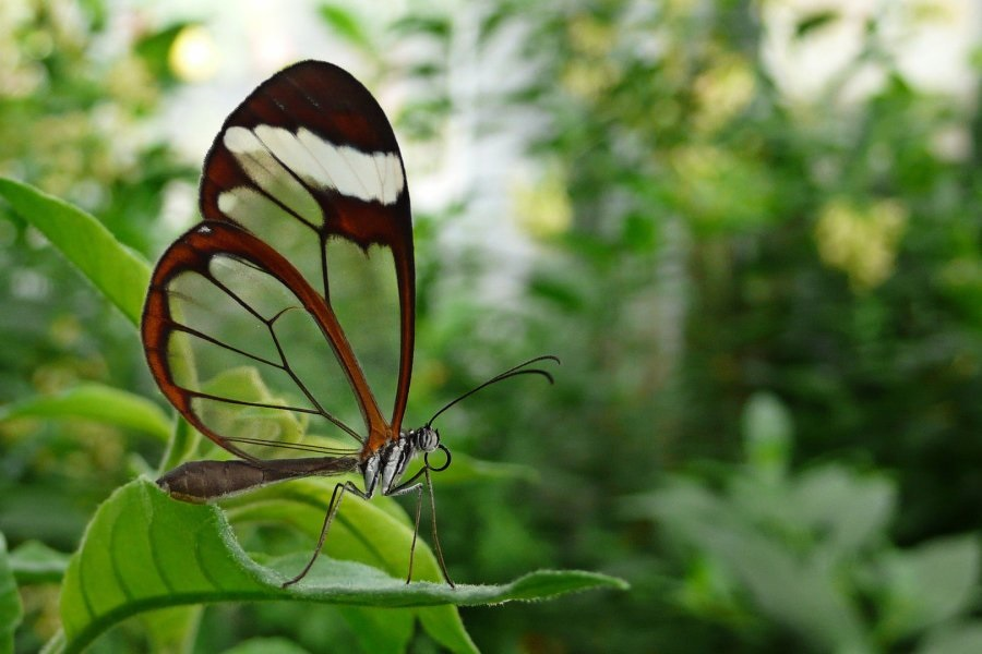Бабочки с прозрачными крыльями фото (14)