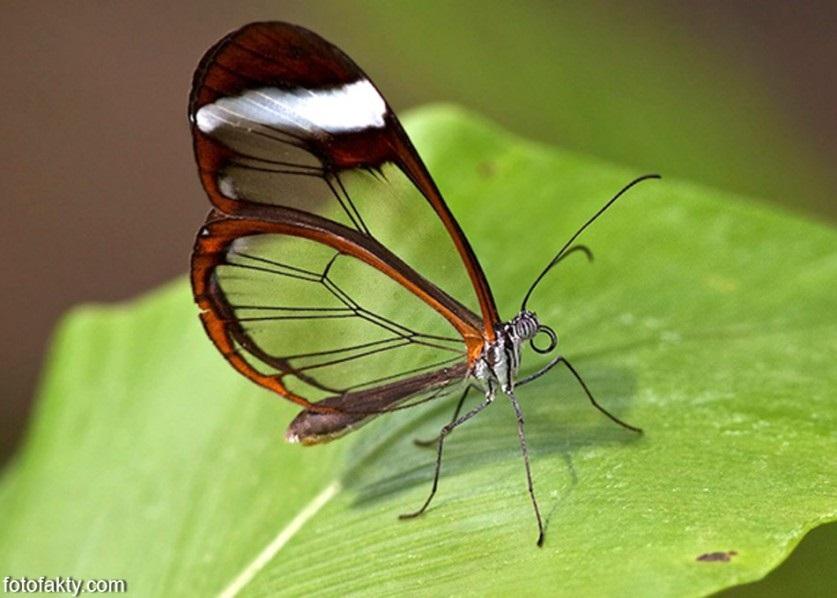 Бабочки с прозрачными крыльями фото (15)