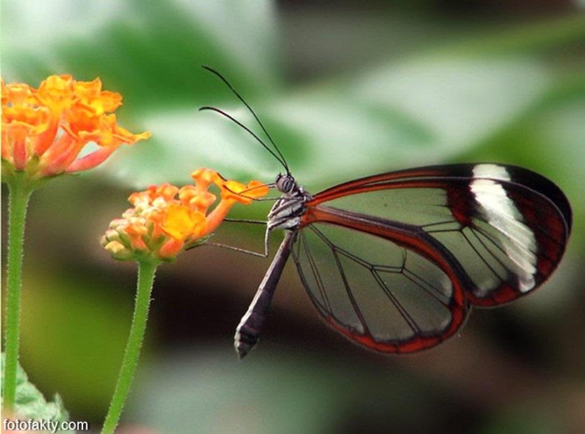 Бабочки с прозрачными крыльями фото (17)