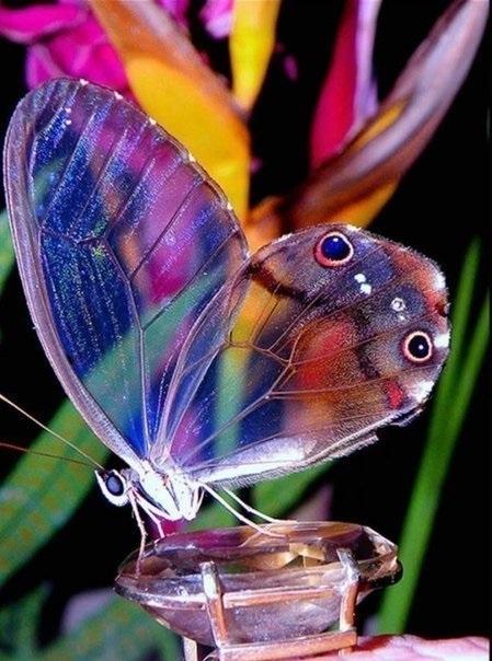 Бабочки с прозрачными крыльями фото (19)