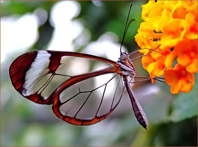 Бабочки с прозрачными крыльями фото (20)
