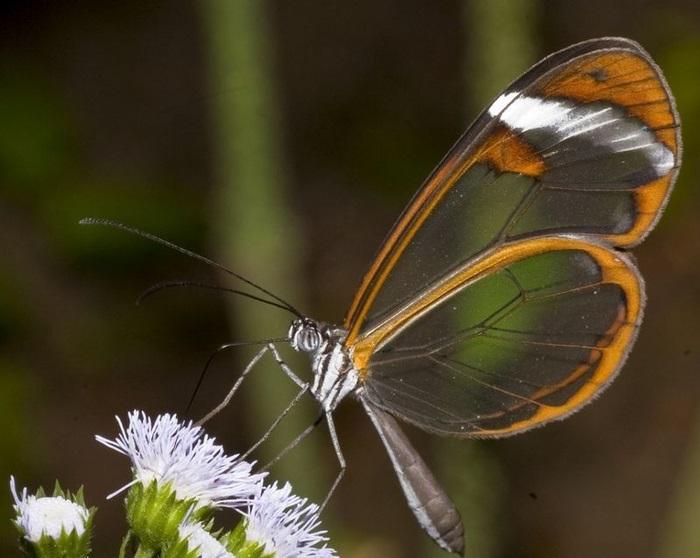 Бабочки с прозрачными крыльями фото (21)