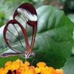 Бабочки с прозрачными крыльями фото
