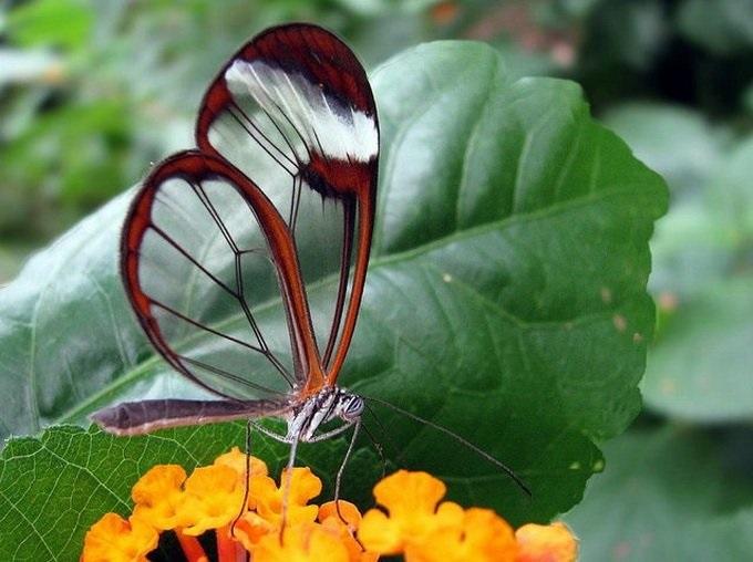 Бабочки с прозрачными крыльями фото (22)