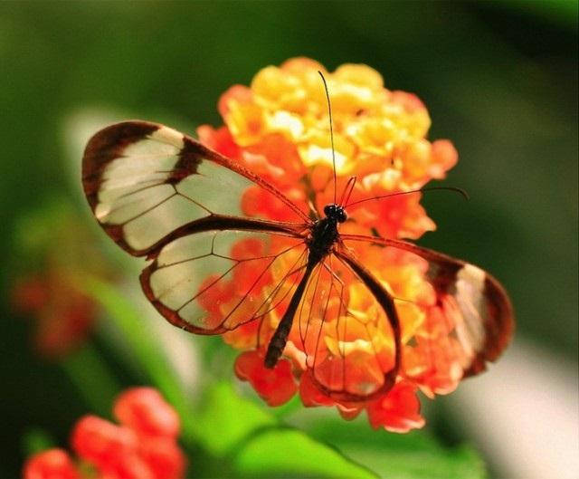 Бабочки с прозрачными крыльями фото (23)