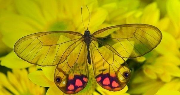 Бабочки с прозрачными крыльями фото (3)