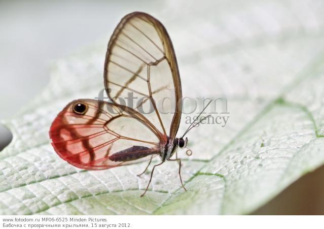 Бабочки с прозрачными крыльями фото (4)