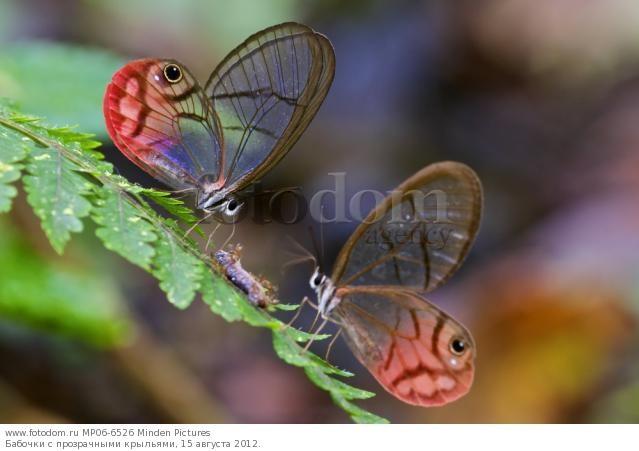 Бабочки с прозрачными крыльями фото (5)