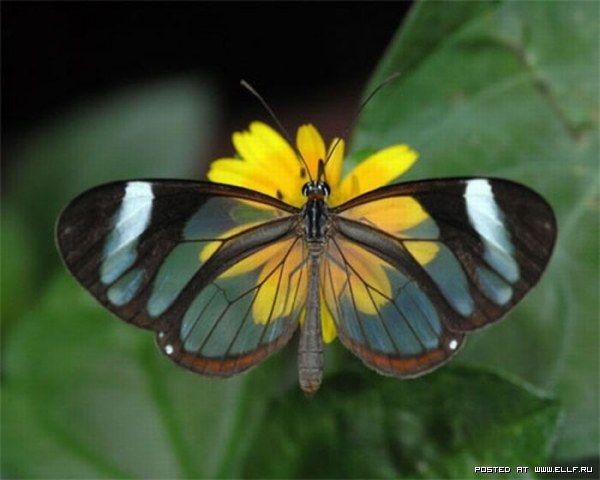 Бабочки с прозрачными крыльями фото (6)
