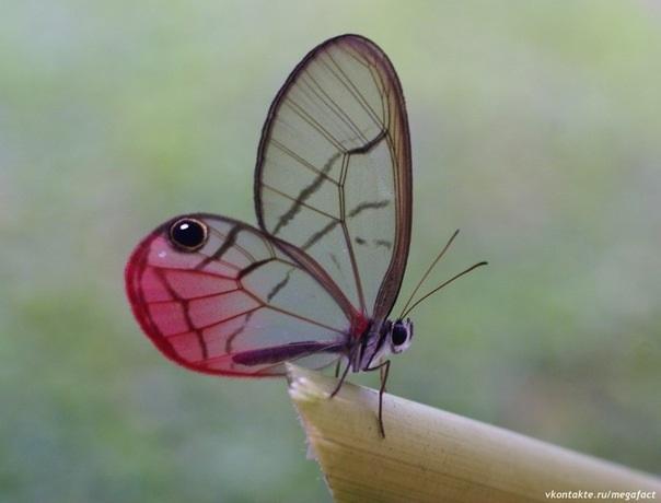 Бабочки с прозрачными крыльями фото (7)