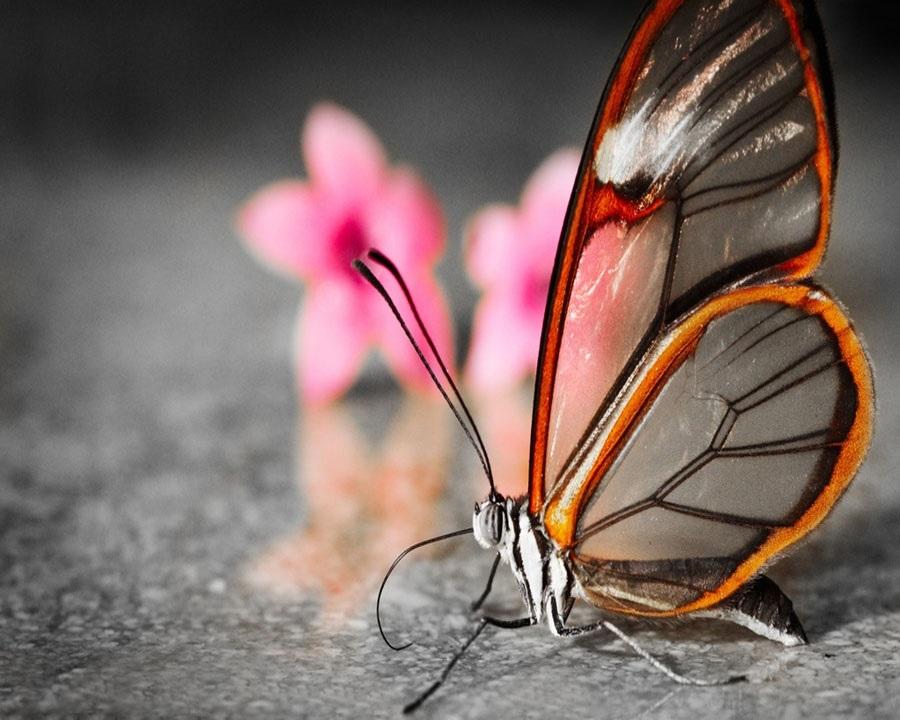 Бабочки с прозрачными крыльями фото (8)