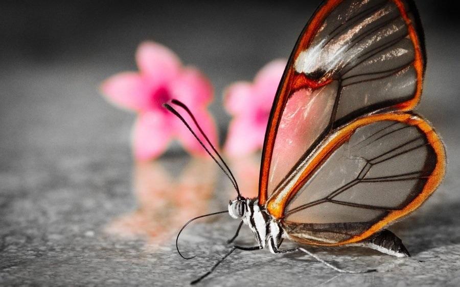 Бабочки с прозрачными крыльями фото (9)