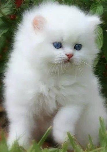 Белые пушистые котята красивые фотографии (1)
