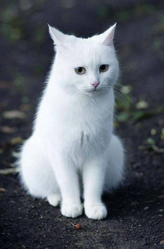 Белые пушистые котята красивые фотографии (10)