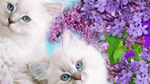 Белые пушистые котята красивые фотографии (11)