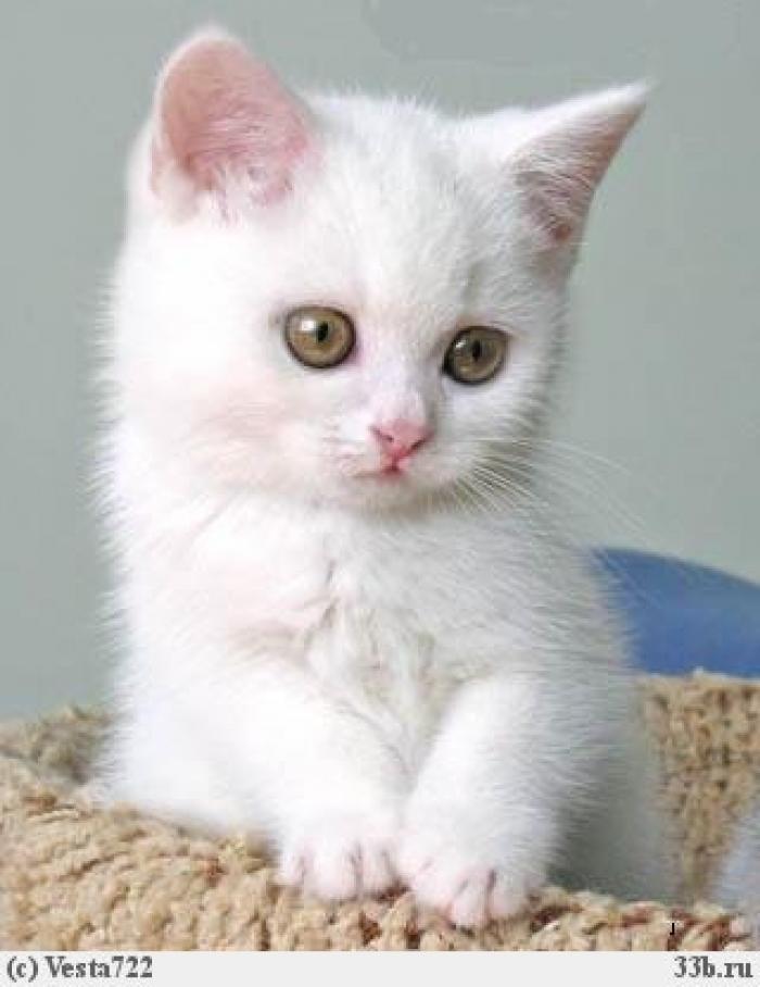 Белые пушистые котята красивые фотографии (12)