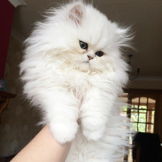 Белые пушистые котята красивые фотографии (13)