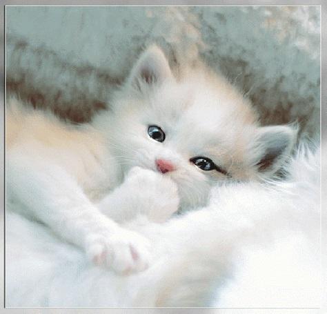 Белые пушистые котята красивые фотографии (15)