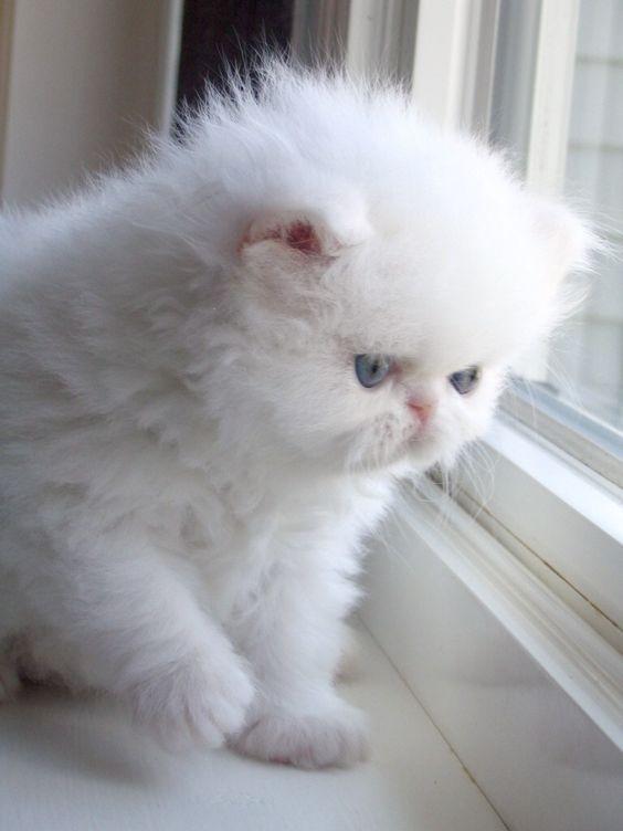 Белые пушистые котята красивые фотографии (16)