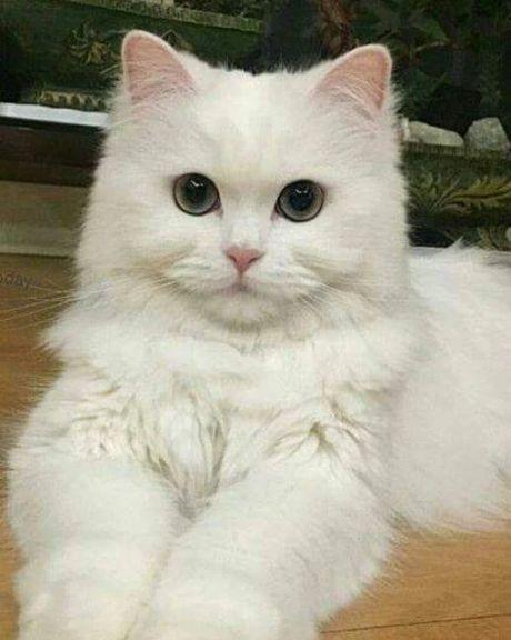 Белые пушистые котята красивые фотографии (18)
