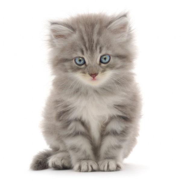 Белые пушистые котята красивые фотографии (19)