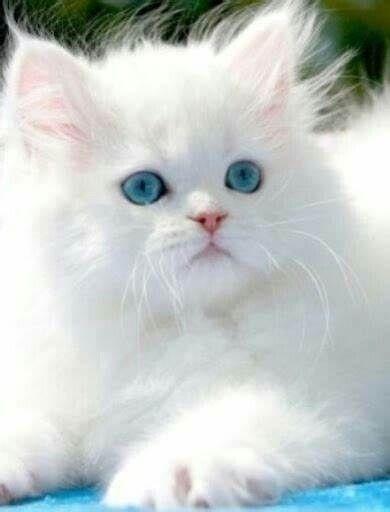 Белые пушистые котята красивые фотографии (2)
