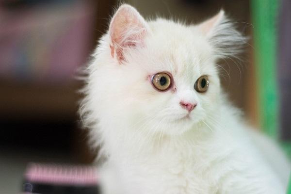 Белые пушистые котята красивые фотографии (20)