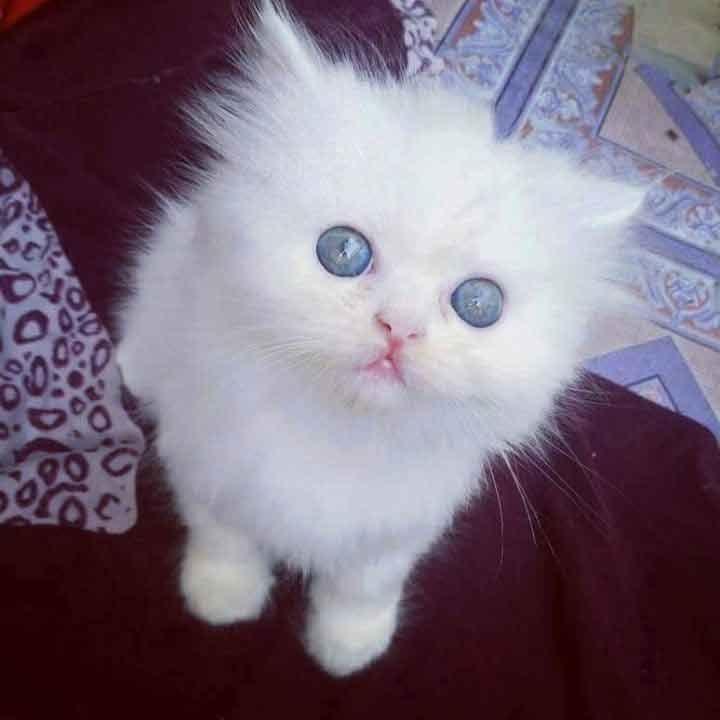 Белые пушистые котята красивые фотографии (21)