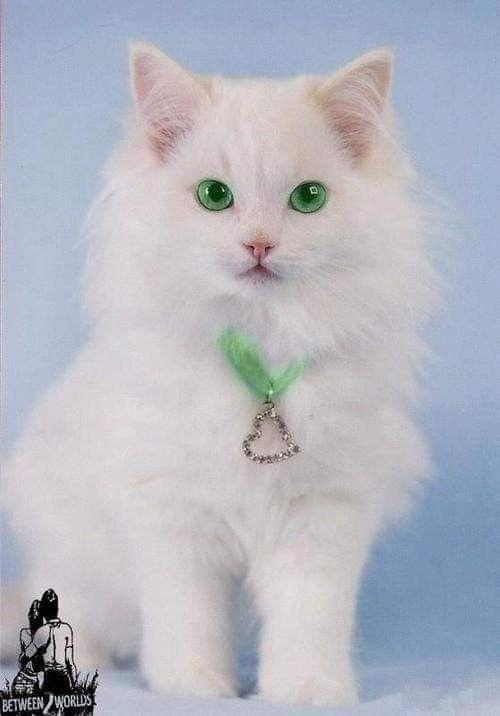 Белые пушистые котята красивые фотографии (22)