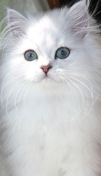 Белые пушистые котята красивые фотографии (24)
