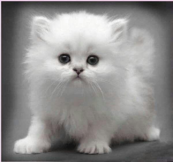 Белые пушистые котята красивые фотографии (26)