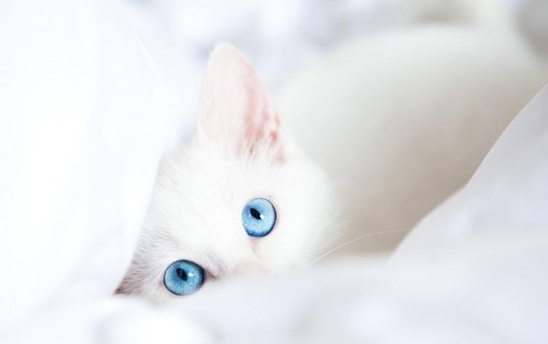 Белые пушистые котята красивые фотографии (27)