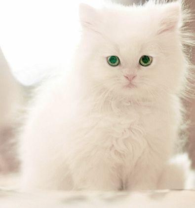 Белые пушистые котята красивые фотографии (5)