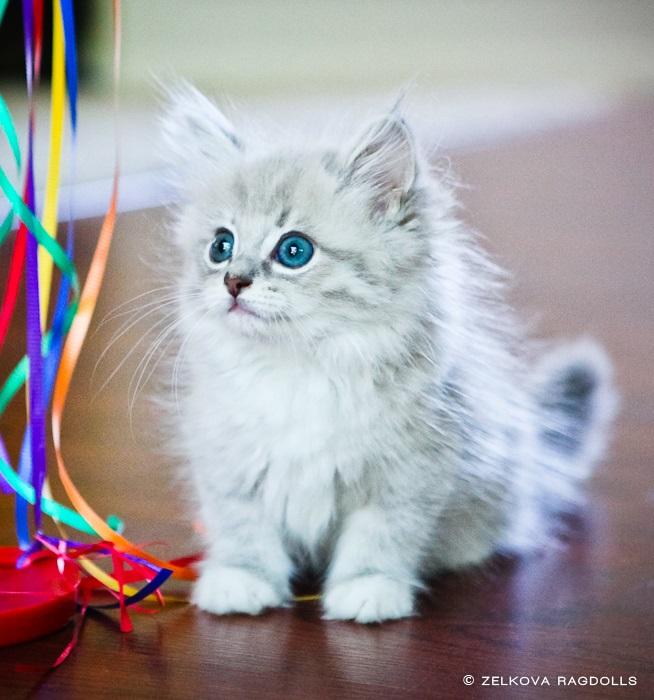 Белые пушистые котята красивые фотографии (6)