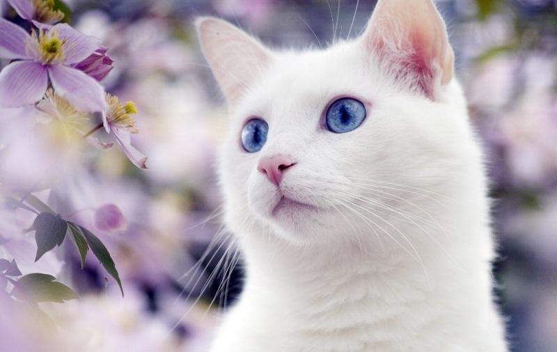 Белые пушистые котята красивые фотографии (8)