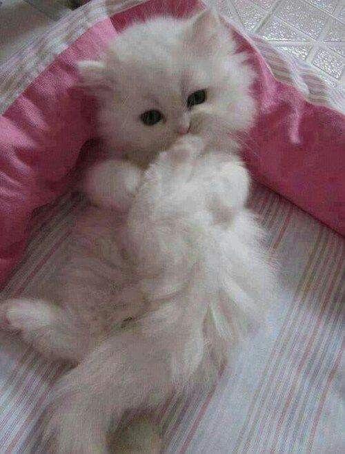 Белые пушистые котята красивые фотографии (9)
