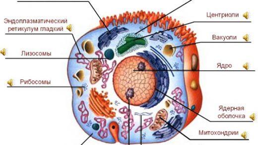 Какова функция эндоплазматического ретикулума