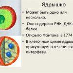 Какова функция ядрышка в ядре?
