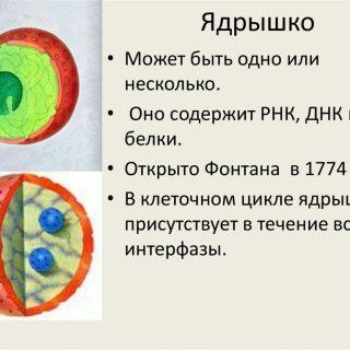 Какова функция ядрышка в ядре