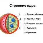 Какую функцию выполняет ядрышко в растительной клетке?