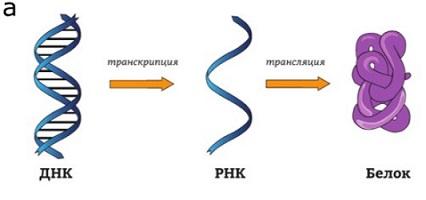 Как функционирует РНК